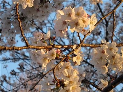 桜04073