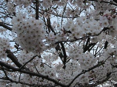 桜04072