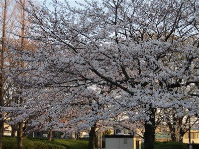 桜04071