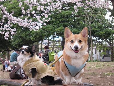 北公園桜4