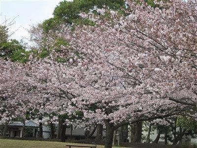 北公園桜1