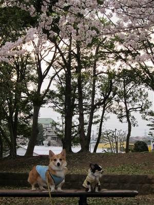 北公園桜3