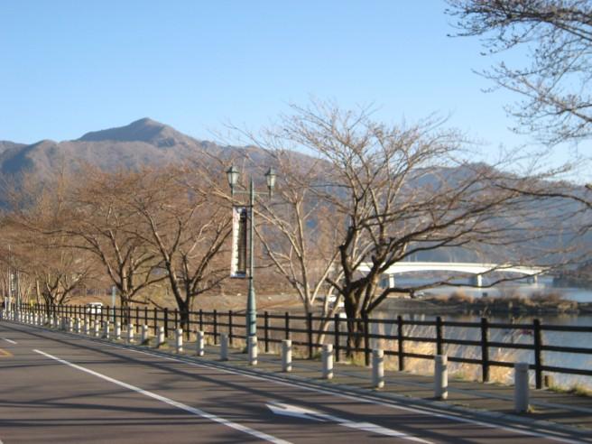 河口湖畔桜並木4月13日