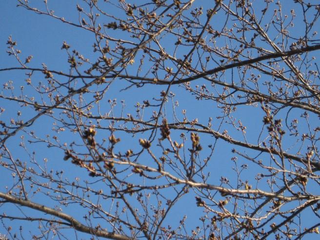 河口湖畔桜つぼみ