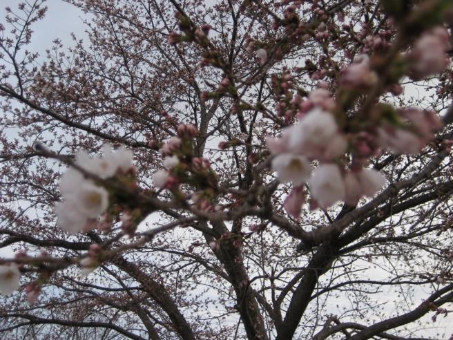 桜つぼみが・・!