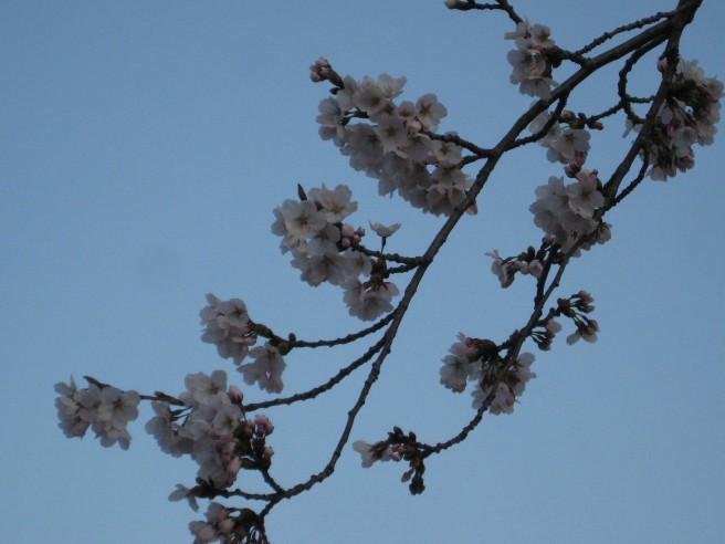 4月17日さくら咲く・・・!