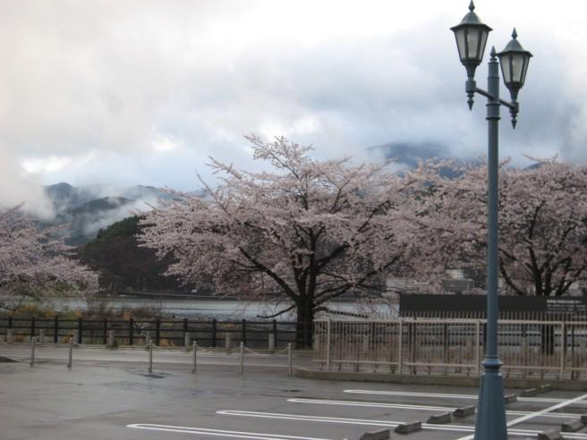 4月19日河口湖畔桜開花状況
