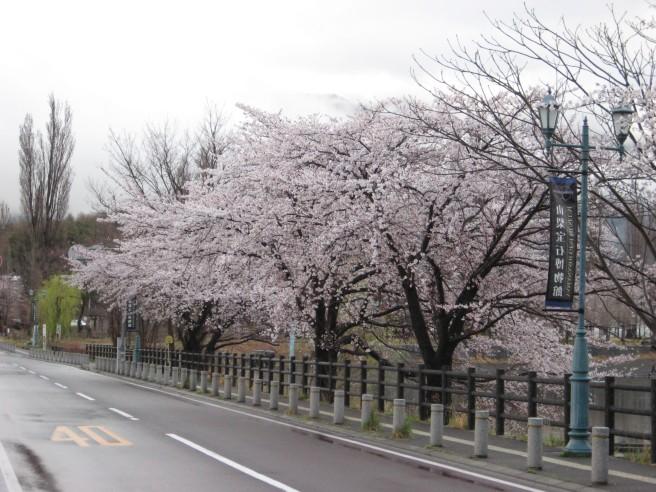 4月19日河口湖畔桜