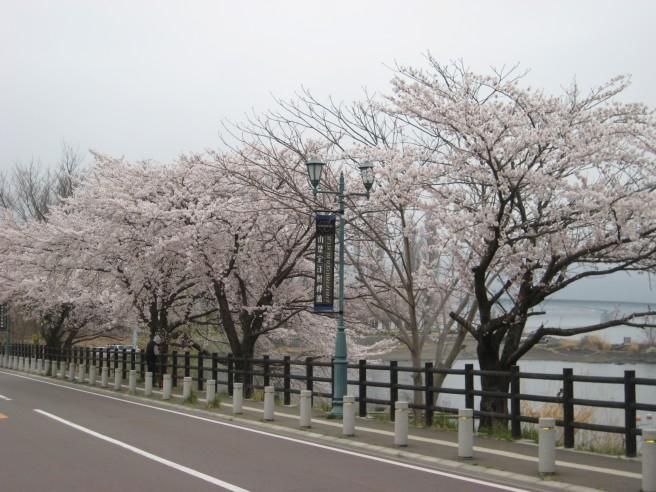 河口湖畔桜並木4月21日
