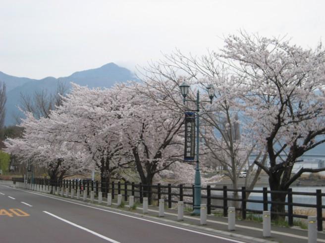 河口湖畔桜並木