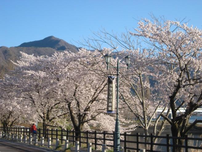 河口湖畔桜開花状況