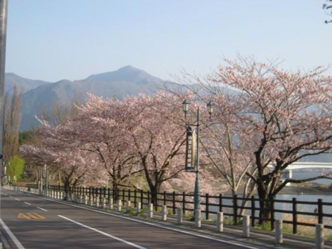 河口湖畔桜状況