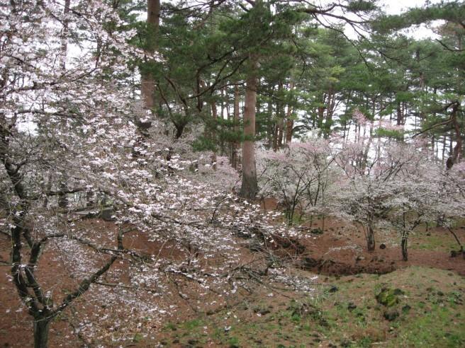 富士桜まつり