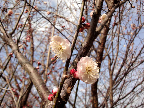 今春の白梅の花ですたい12