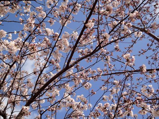 桜さきましたね~
