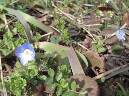 オオイヌフグリの花でつ2012