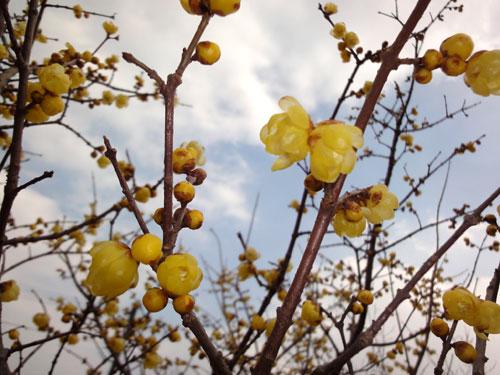 2012年の蝋梅の花ですたい