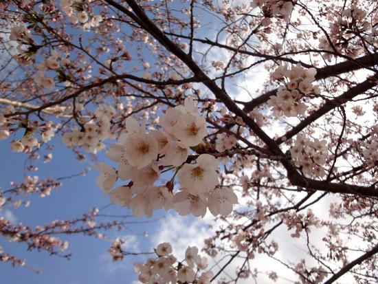 花冷えの桜12