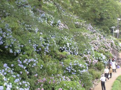 小田原城の紫陽花③