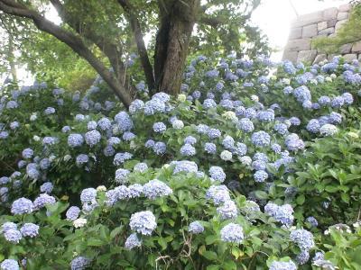 小田原城の紫陽花①