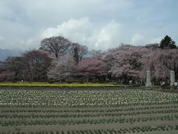 クライベイビー桜! (9)