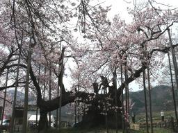 クライベイビー桜! (4)