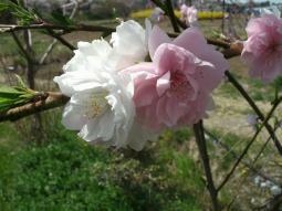 千本桜景厳 (25)