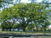 グアカリの木