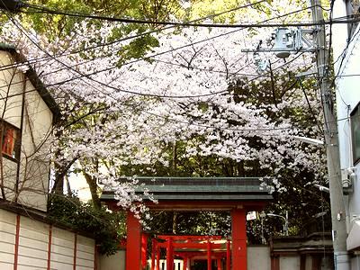 生田神社の桜