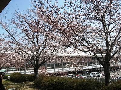 二分咲きの仁川の桜