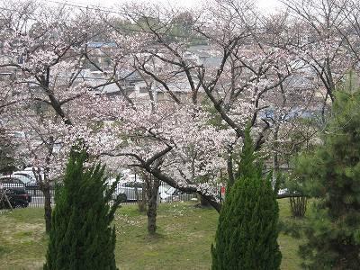 中京競馬場の桜 2010高松宮記念の日