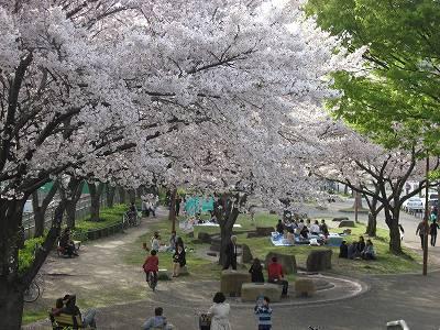 金山公園の桜