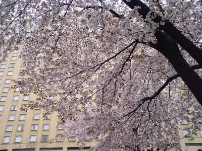 下園公園の桜