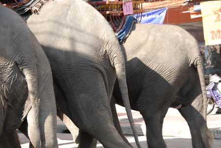 elephant-osiri