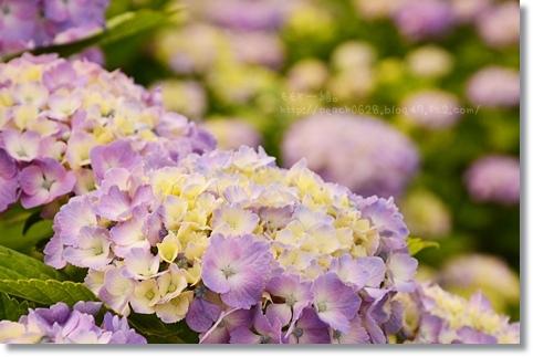 大乗寺紫陽花201306 015