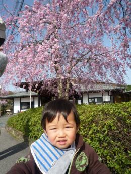 110409 枝垂れ桜01