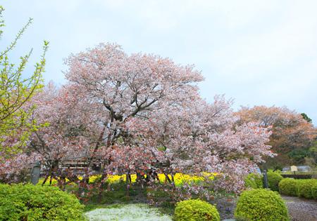 下馬桜 1