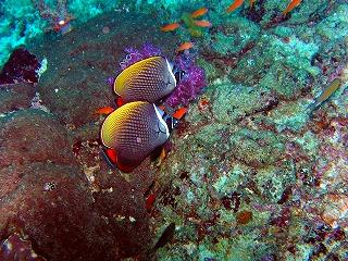 プーケット ダイビング シミランクルーズ ピピ島 ラチャヤイ島