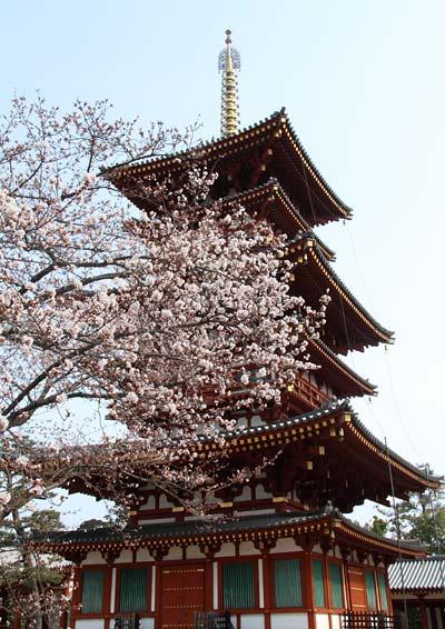 薬師寺 桜5