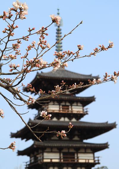 薬師寺 桜4