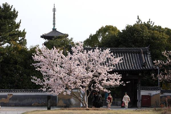 薬師寺 桜3