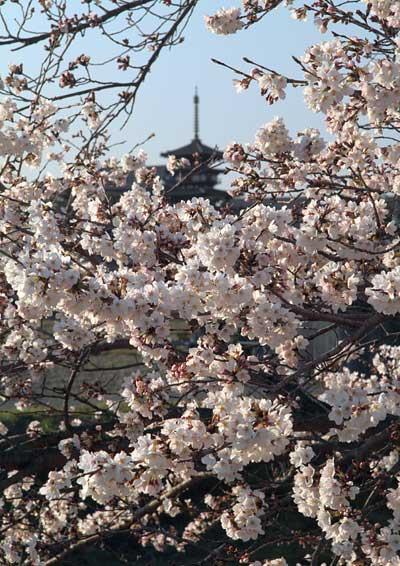 薬師寺 桜2
