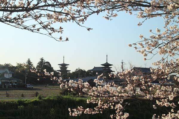 薬師寺 桜1