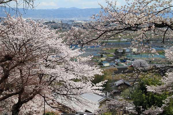 三室山 桜3