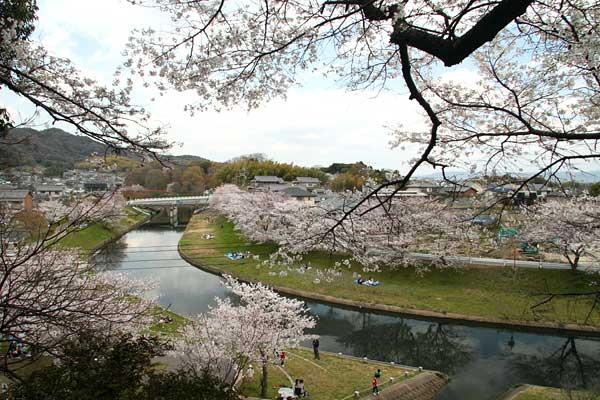 三室山 桜4