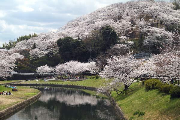 三室山 桜1