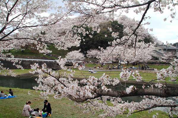 三室山 桜2