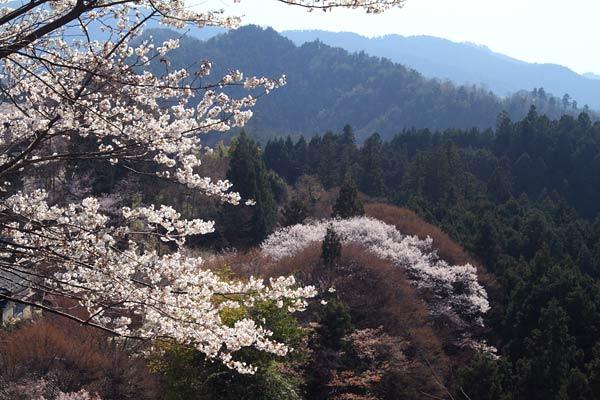 吉野山 さくら6