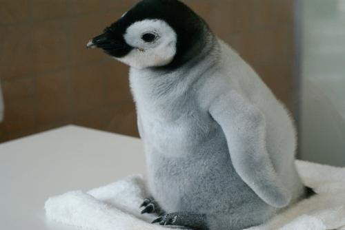 エンペラーペンギンのヒナ