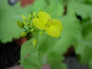 山東菜の花